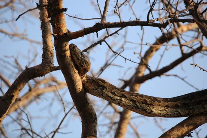African rock python climbing a tree