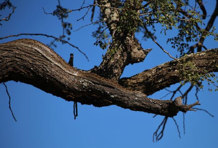 Rock python enjoying the African sun