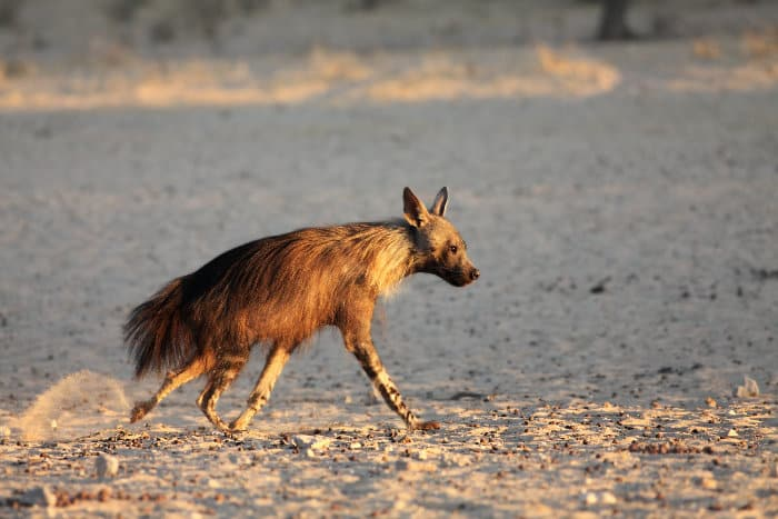 Brown hyena running in the Kalahari desert