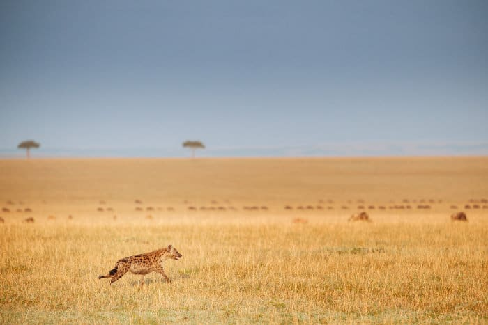 Lone spotted hyena running across the African savanna, with blue wildebeest in the background