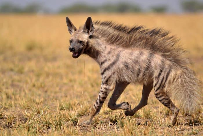 Indian striped hyena on the run