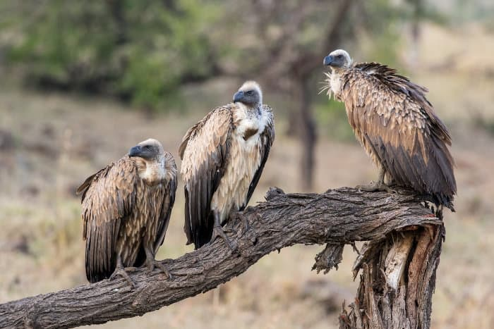 Three white-backed vultures relaxing on a dead tree, Mara Conservancy