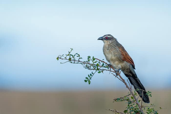 White-browed coucal perched on a branch, Kidepo Valley National Park