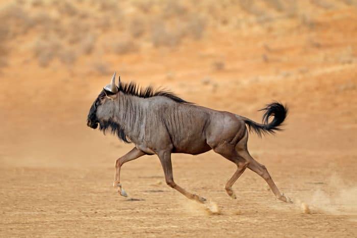 Blue wildebeest trotting along in the Kalahari Desert, South Africa