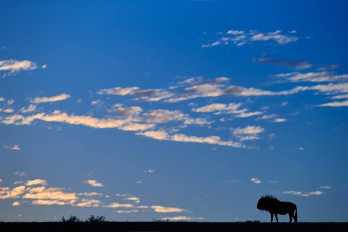 Wildebeest silhouette on the horizon, Kalahari Desert, Namibia