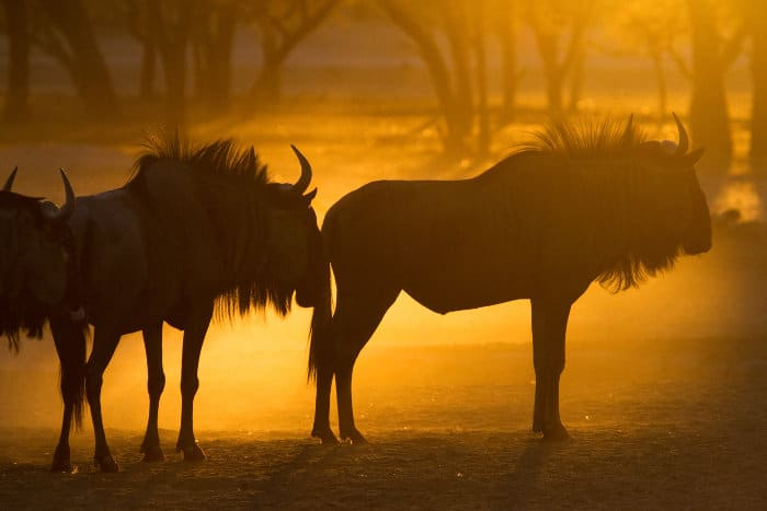 Blue wildebeest silhouettes in golden dust, Kgalagadi, South Africa