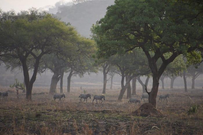 Zebra at dawn in Kidepo, Uganda