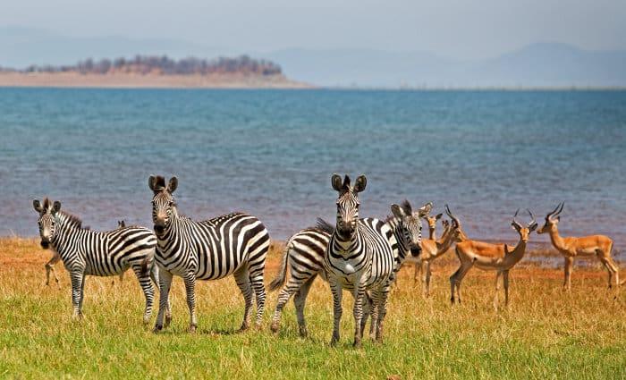 Inquisitive zebra and impala on the shores of Lake Kariba in Zimbabwe