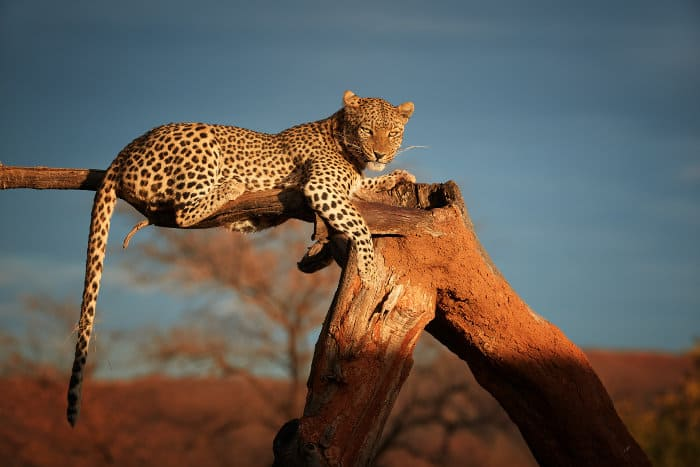 African leopard resting on a dead tree, Okonjima Nature Reserve, Namibia