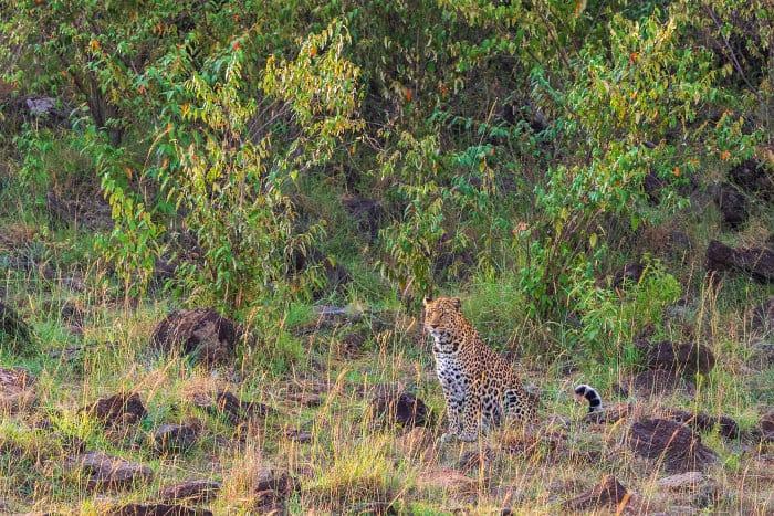 African leopard in dense bush