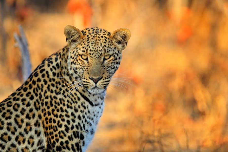 The African leopard – A guide to spotting elusive cats in Africa