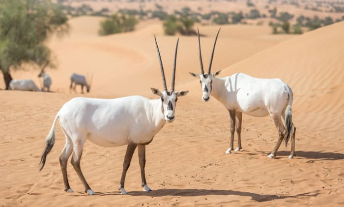 Arabian oryxes in the Dubai Desert Conservation Reserve, United Arab Emirates