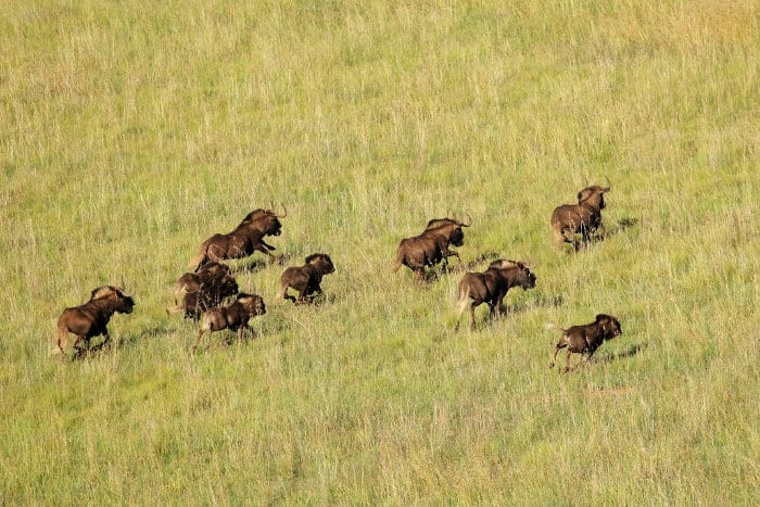 Black wildebeest pictured from above, in running motion