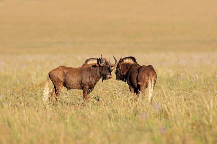 Pair of black wildebeest in open grasslands, Mountain Zebra National Park, South Africa