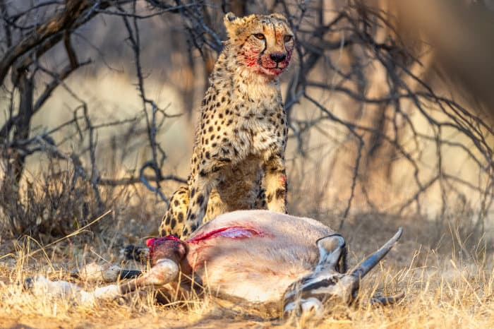 Cheetah with gemsbok kill at Okonjima