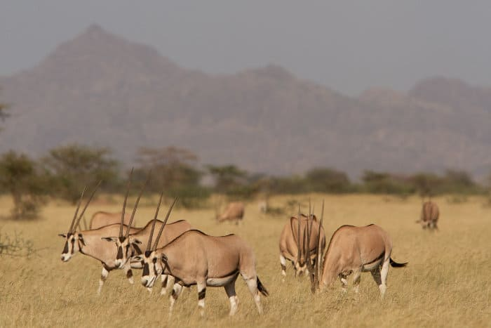 Herd of common beisa oryx in Ethiopia