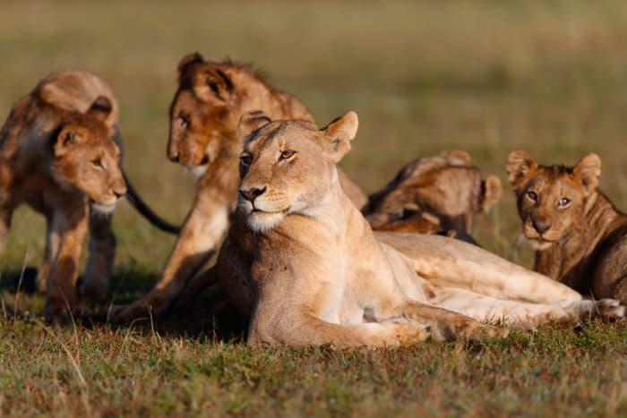 Lioness and her cubs having a rest, Masai Mara, Kenya