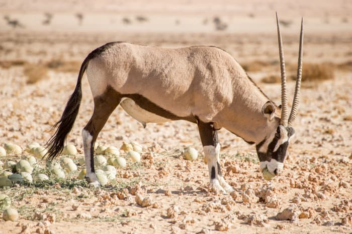 A gemsbok feeds on a wild melon near Aus, Namibia