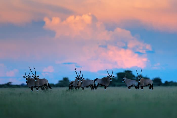 Herd of gemsbok under pink clouds, Nxai Pan, Botswana