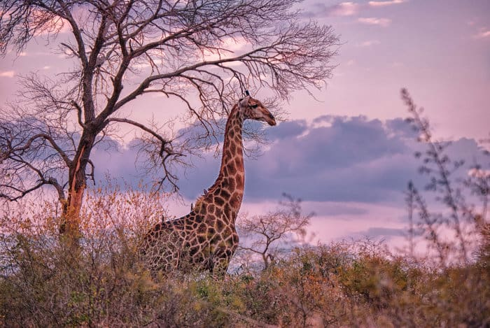 Lone giraffe in fading light, Mala Mala