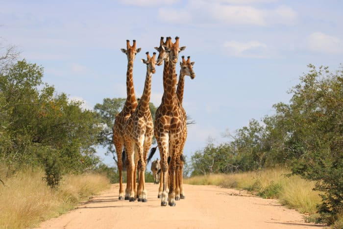 Herd of giraffe walking down a dirt path, with a lone zebra emerging in the background