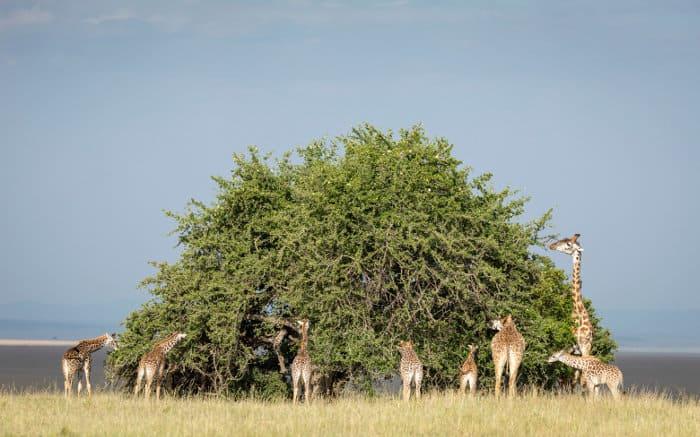 Tower of Masai giraffes feeding off a tall Acacia tree
