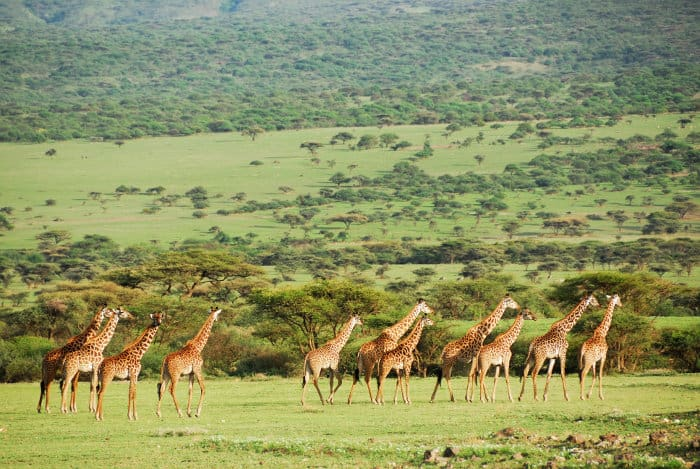 A journey of giraffes on the African plains