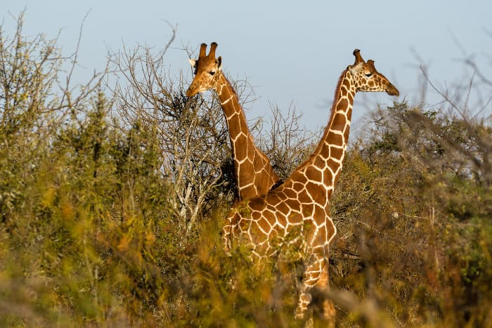 A kaleidoscope of reticulated giraffe in Ol Doinyo Lemboro Ranch, Laikipia area