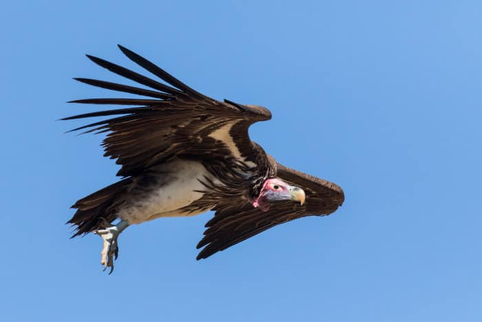 Lappet-faced vulture in flight