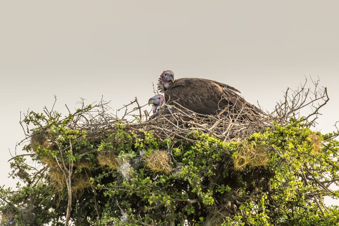 Pair of lappet-faced vultures in their nest