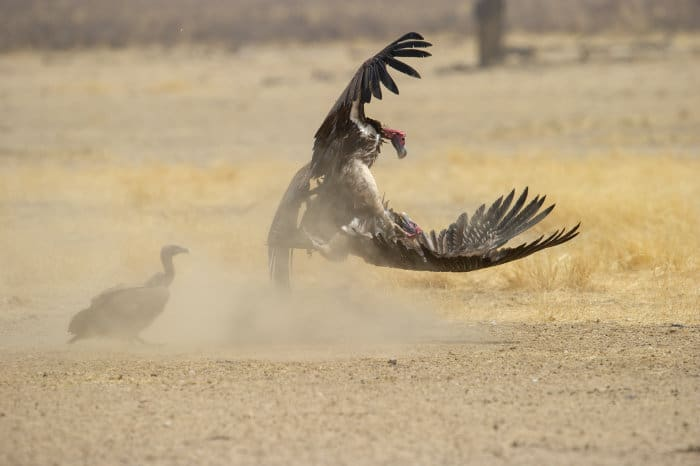 Lappet-faced vultures fighting, Kgalagadi Transfrontier Park, South Africa