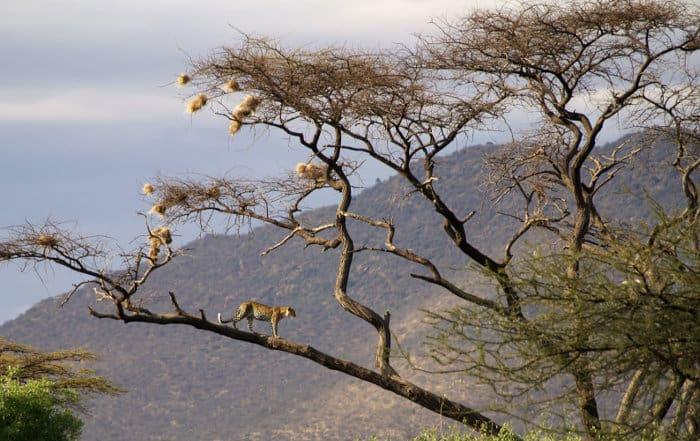 Leopard in large acacia tree, Samburu National Reserve, Kenya