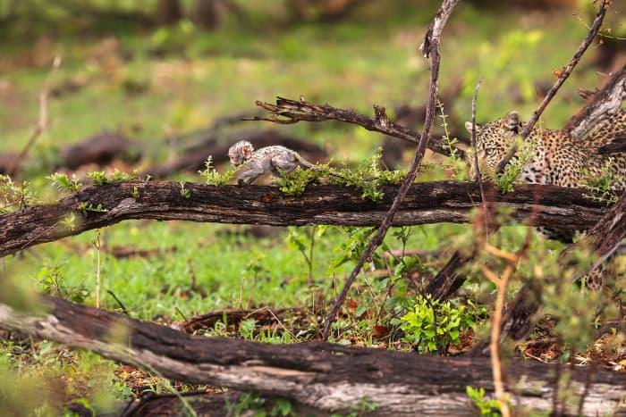 Leopard and baby monkey in the Okavango Delta, Botswana