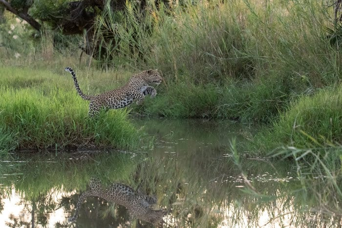 Leopard jumping over a river, Londolozi, South Africa