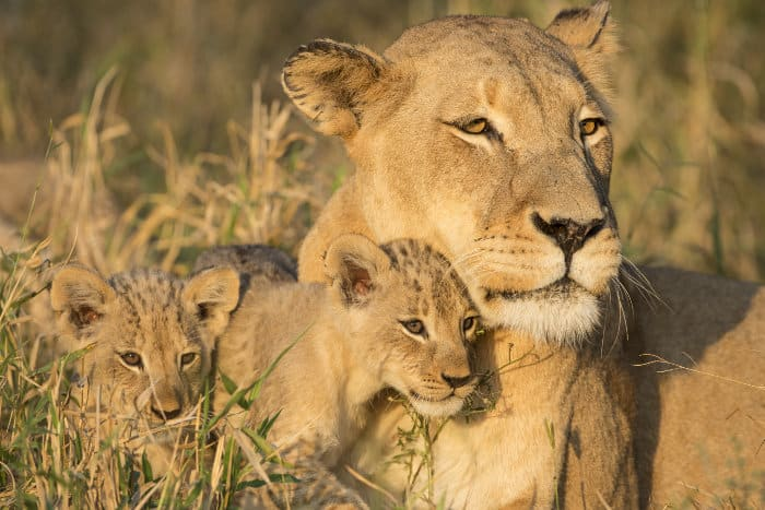 Cute lion family portrait in the South African bush