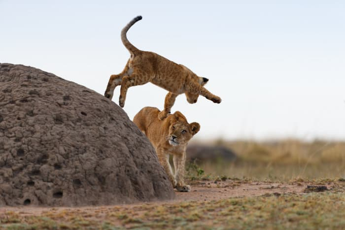 Lion cub jumping off a termite mound