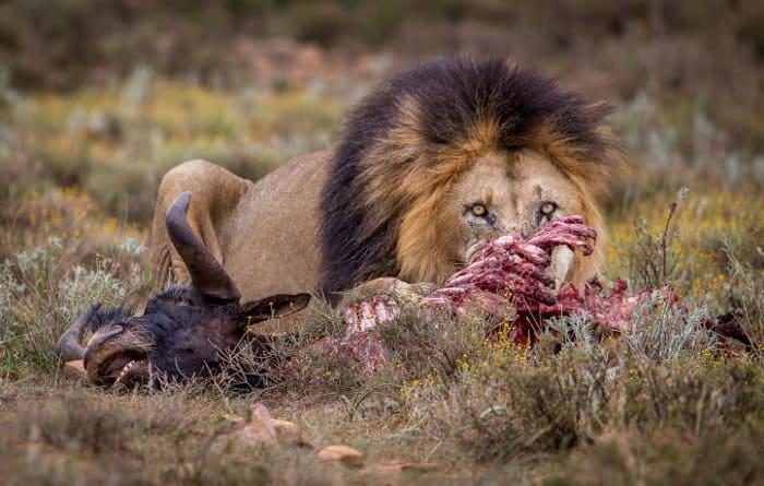Huge black-maned lion feeding on a black wildebeest carcass
