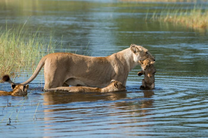Lioness carrying one of her cubs across a channel in the Okavango Delta, Botswana
