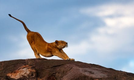 How many lions are left in the world? Africa's disappearing wildlife