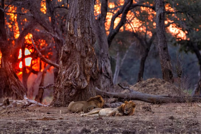 Two adult male lions resting under a large tree, Mana Pools, Zimbabwe