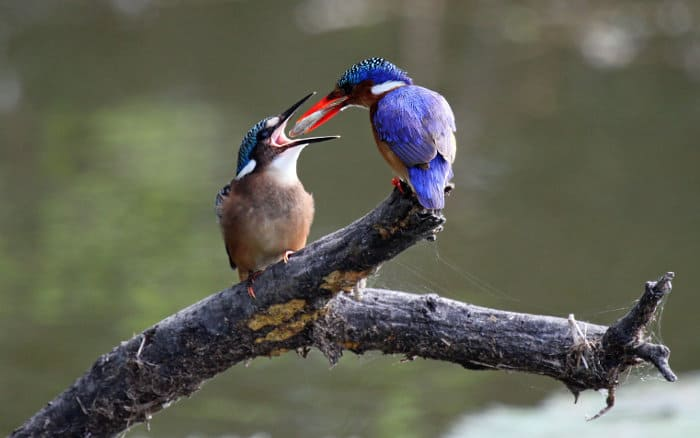 Malachite kingfisher feeding its young with the catch of the day