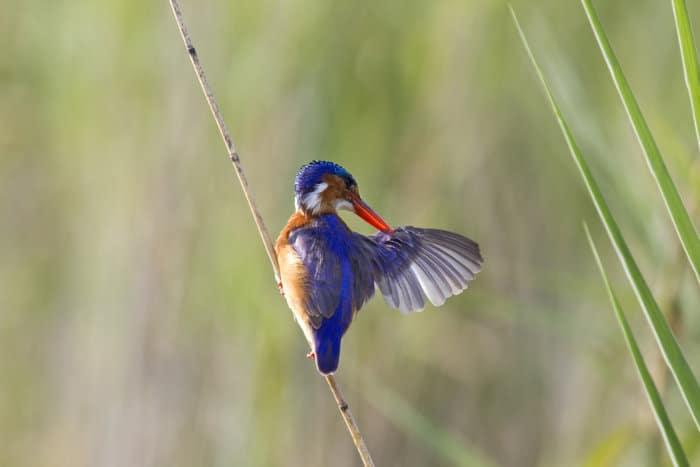 Malachite kingfisher preening its wing