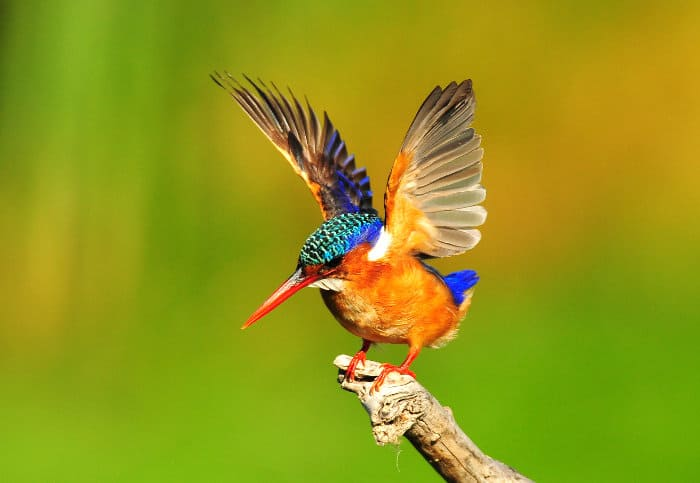 Colourful malachite kingfisher standing on a branch, flapping its wings