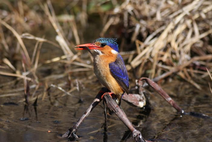 Malachite kingfisher with fish in its beak