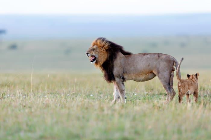 Huge black-maned lion and cub in the Masai Mara, Kenya