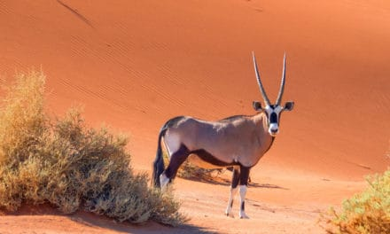 Oryx – The life of a desert nomad