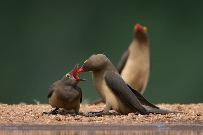 Red-billed oxpecker feeding its chick by a waterhole, Karongwe Game Reserve, South Africa