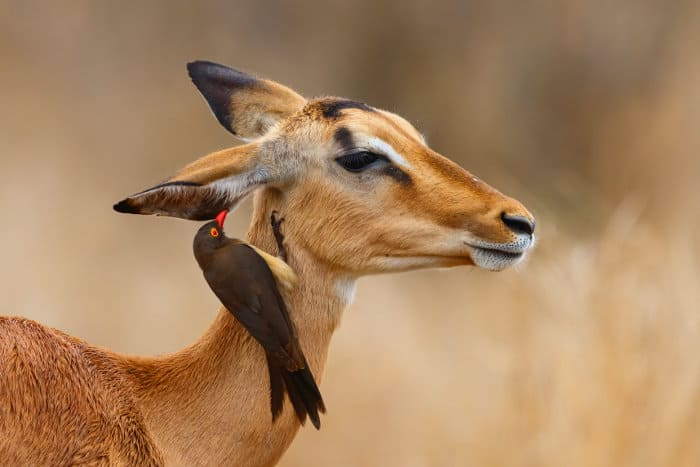 Red-billed oxpecker inspecting a female impala's ear, Kruger