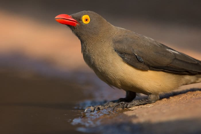 Close-up shot of a red-billed oxpecker on the edge of a waterhole