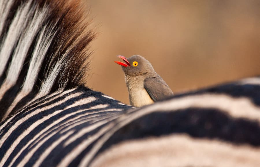 Red-billed oxpecker – Facts about the piggybacking African bird